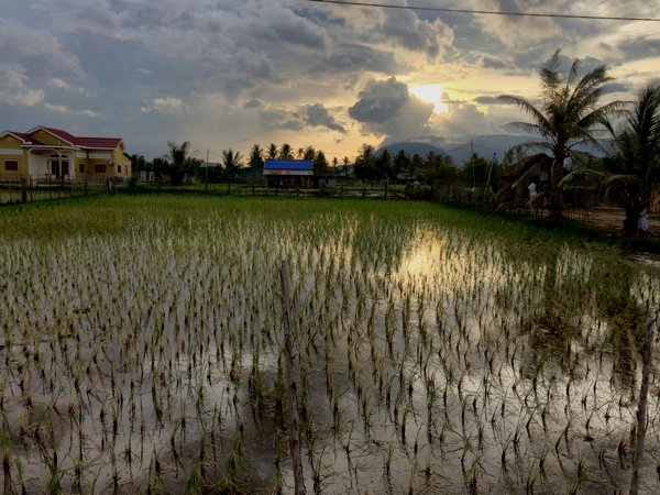 A paddy field during sunset.