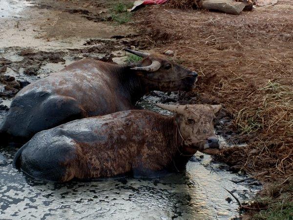 Mud wading buffalos.
