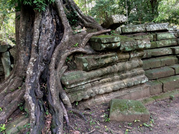 Another stone wall-hugging tree.